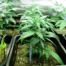 марихуана в Морозовске